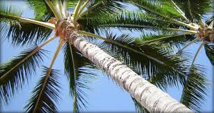 how to care for las vegas palm trees nevada tree service