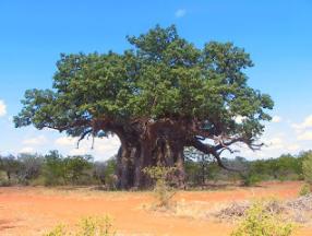 Tree Fact